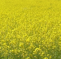 field of yellow oilseed rape